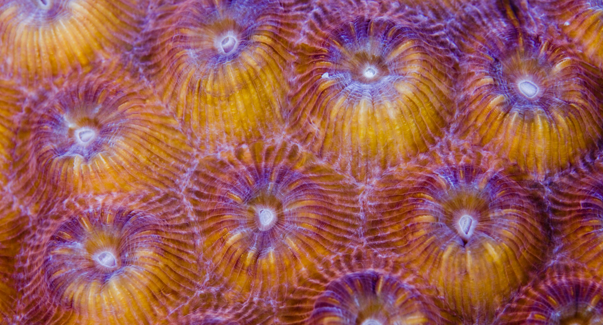 Close-up of the Great star coral, Montastrea cavernosa. Copyright B.Christensen/Azote