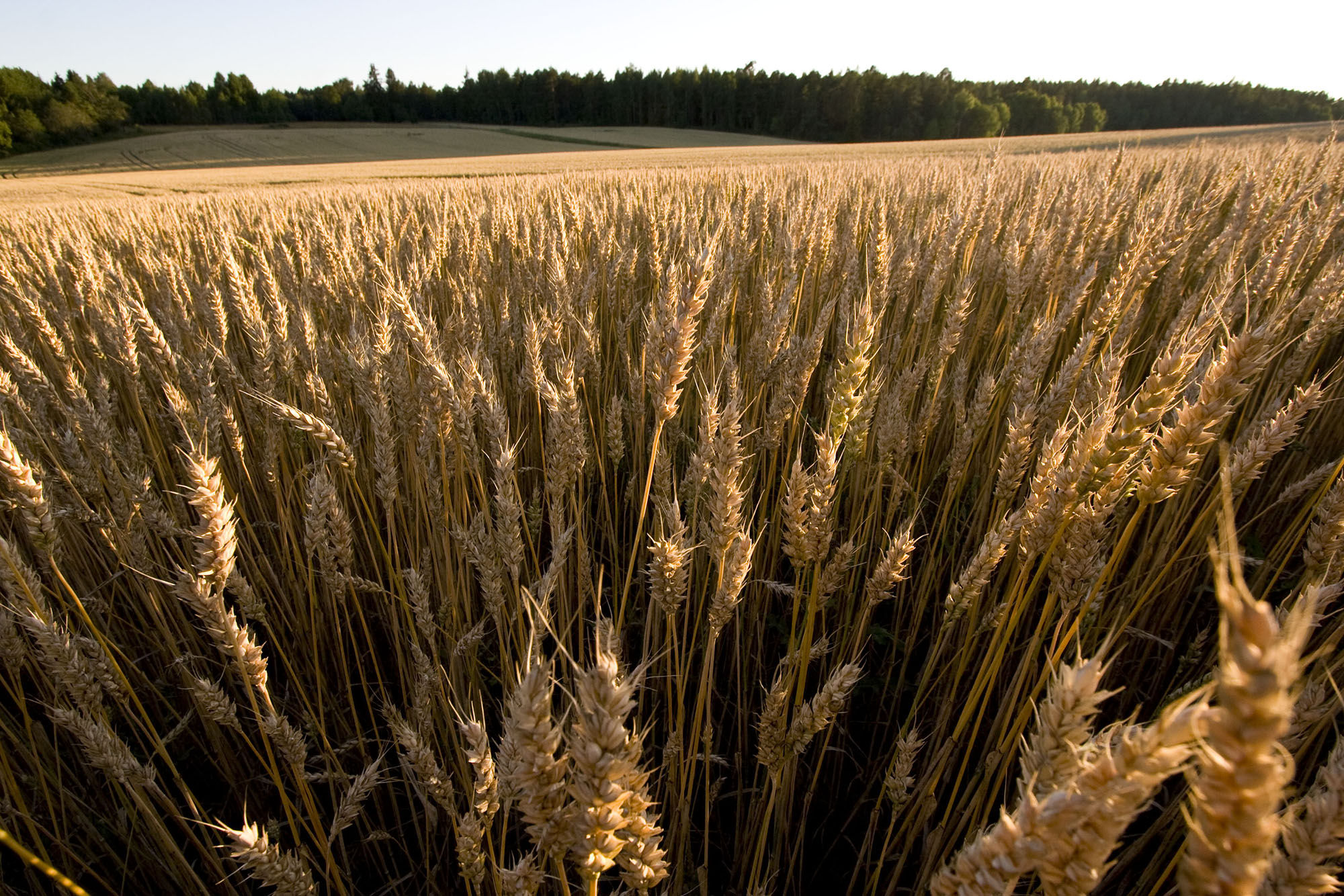 Monoculture. Wheat growing in Sweden. Copyright: Nic Kruys/Azote.