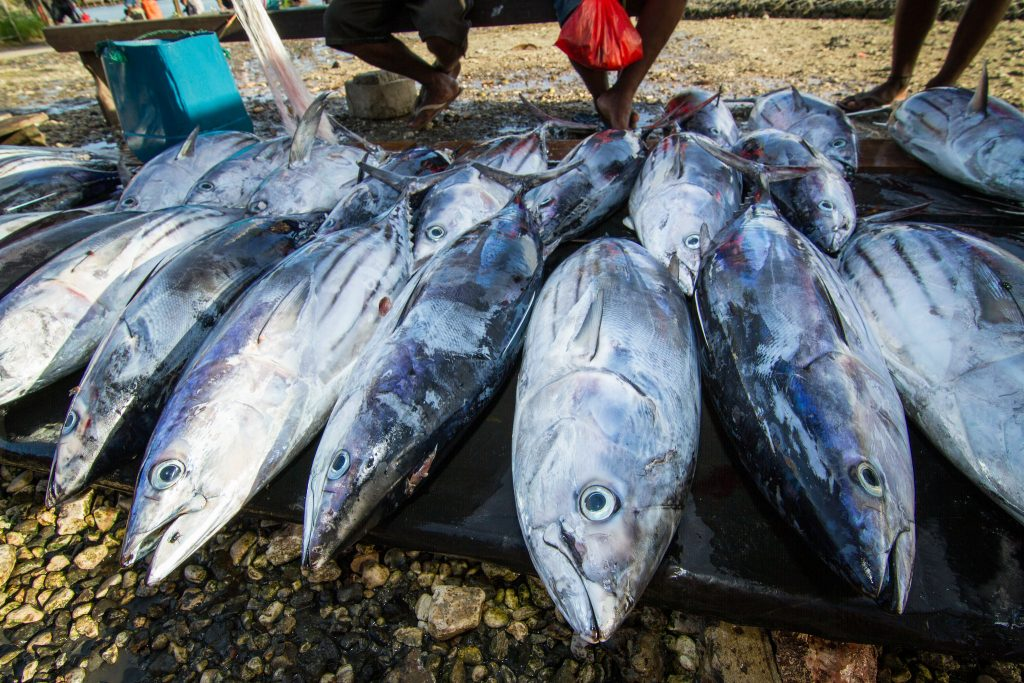 Tuna for sale at Auki market, Malaita Province, Solomon Islands. Photo by Filip Milovac. https://www.flickr.com/photos/theworldfishcenter/19320425646/in/photostream/