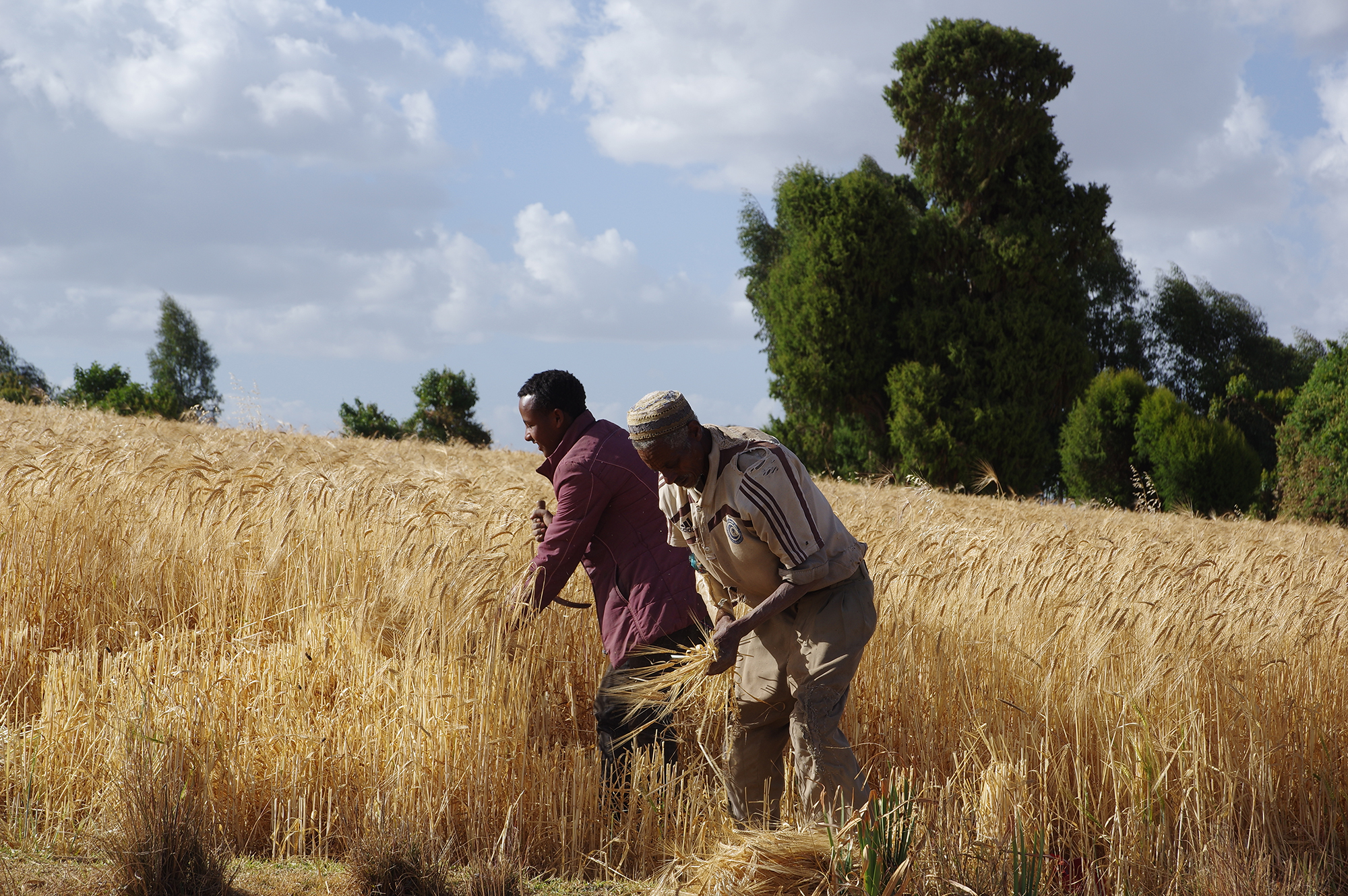 Community members working in a wheat field in Ethiopia earlier this year. Courtesy of MELCA-Ethiopia.