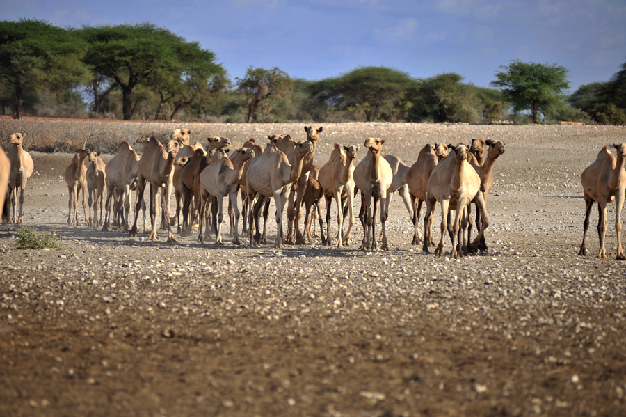 Camels near a borehole near Wajir. Courtesy of IBLI.