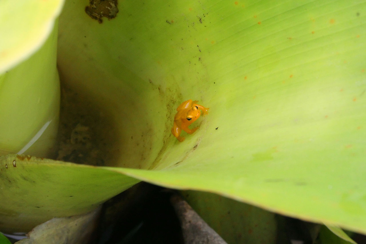 A golden dart-poison frog lives its entire life inside the leaves of a tank bromeliad, a plant that grow to the size of a person. Photo: Ian McKenzie (https://www.flickr.com/photos/madmack/957393255, CC 2.0: https://creativecommons.org/licenses/by/2.0/).