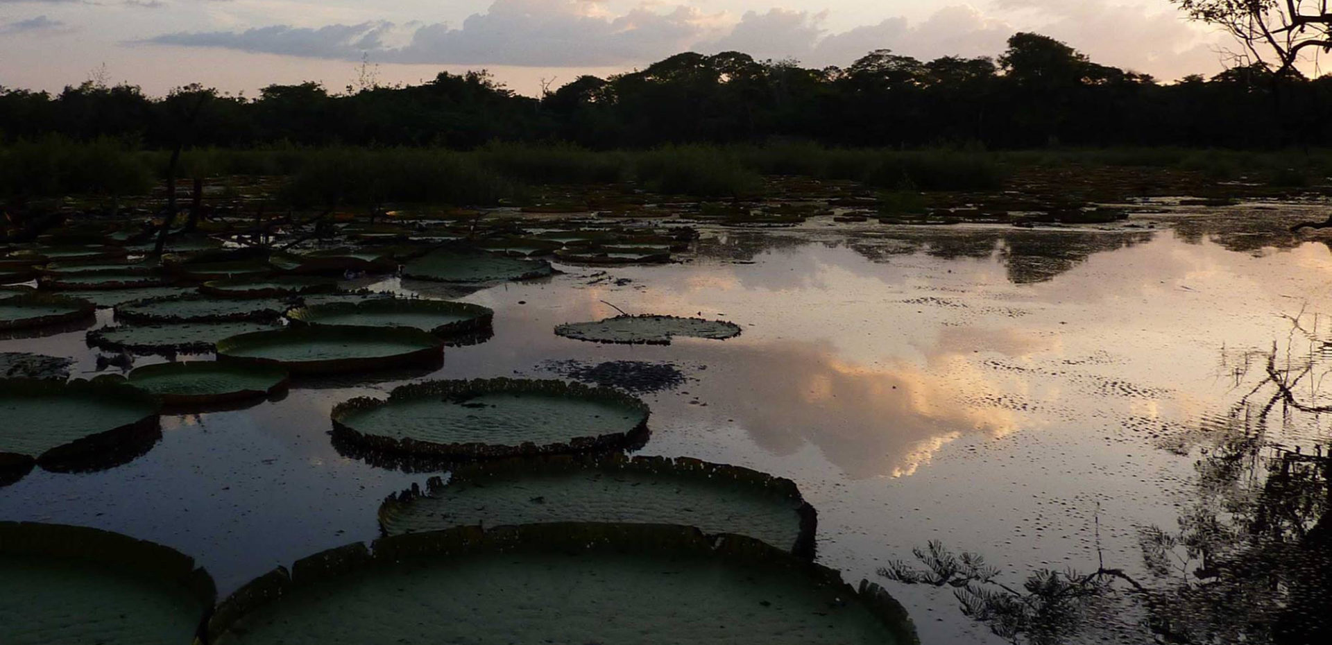 These giant Amazon water lilies (Victoria amazonica) grew near Karanambu in Guyana's Rupununi River. The pads can support the weight of a human child. Their white flowers bloom at dusk, emitting a potent perfume that attracts tens of golden beetles to an inner flower sanctum party. By morning, the flower has turned bright pink, as the beetles have completed pollinating it and depart. Then the flower wilts. Photo: Erica Gies.