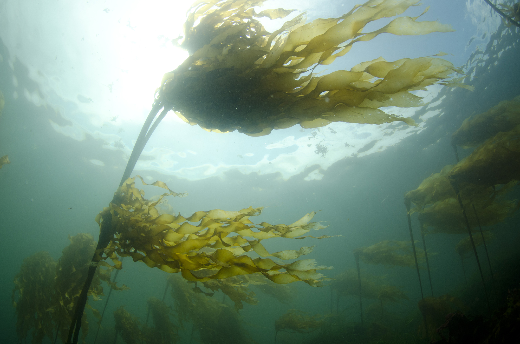A kelp forest maintained by the Haida Gwaii, along the coast of British Columbia. Photo: Mark Wunsch.