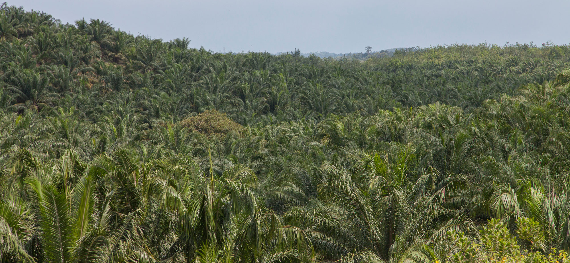 Oil palm plantation in Malaysia. Palm oil is used in products from soap and cosmetics to food and snacks. The increasing demand for palm oil around the world is causing wide spread de-forestation in for example Malaysia and on Borneo, making way for vast monocultures of oil palms. Photo: N. Desagher/Azote