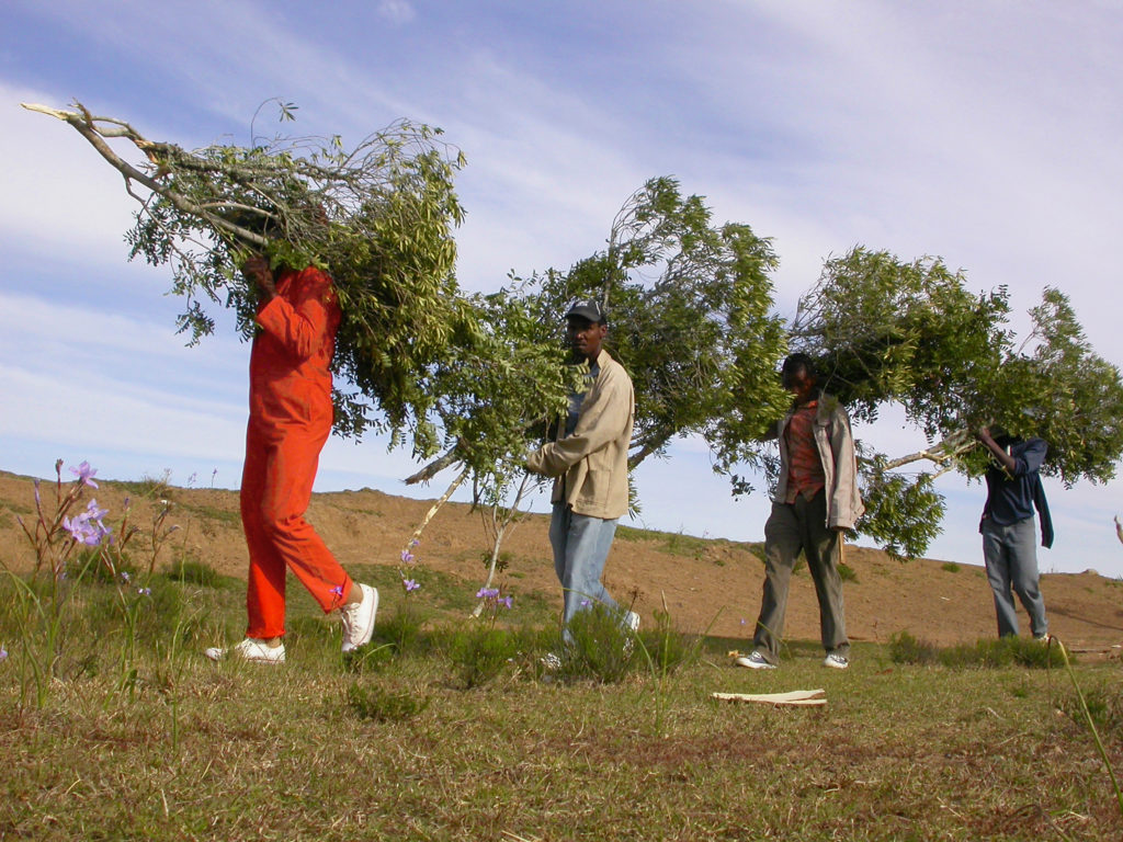 Young men collecting Wild Olive (Umnquma) (Olea europaea subsp. africana) branches to perform a sacrificial ritual for the ancestors. Photo copyright: Tony Dold