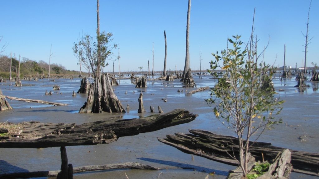 Regime shift in New Orleans' coastal forest. A salt-tolerant shrub grows in the dead stump of a freshwater cypress tree. Photo copyright: J. Lewis