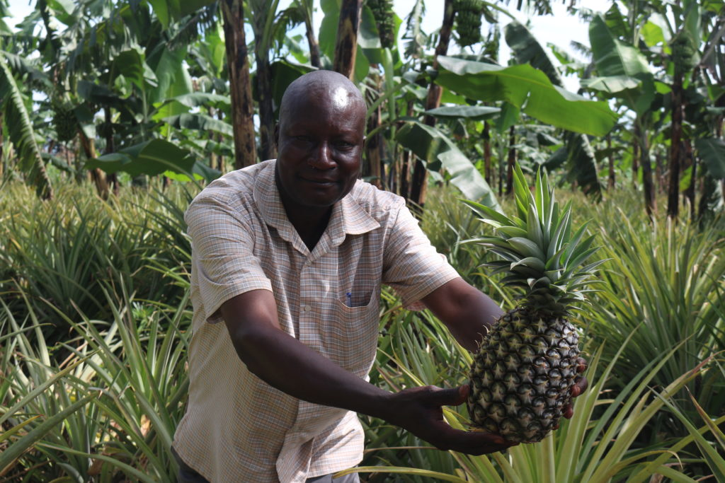 Vicent Ssonko grows organic pineapples together with bananas and a variety of other plants such as beans, maize, and groundnuts. The pinapples are sold on the international market, and bananas on the local market. Beans and groundnuts contain important nutrients for a balanced diet, they also fixate nitrogen and improve soil fertility. Photo courtesy of A. Gonçalvés
