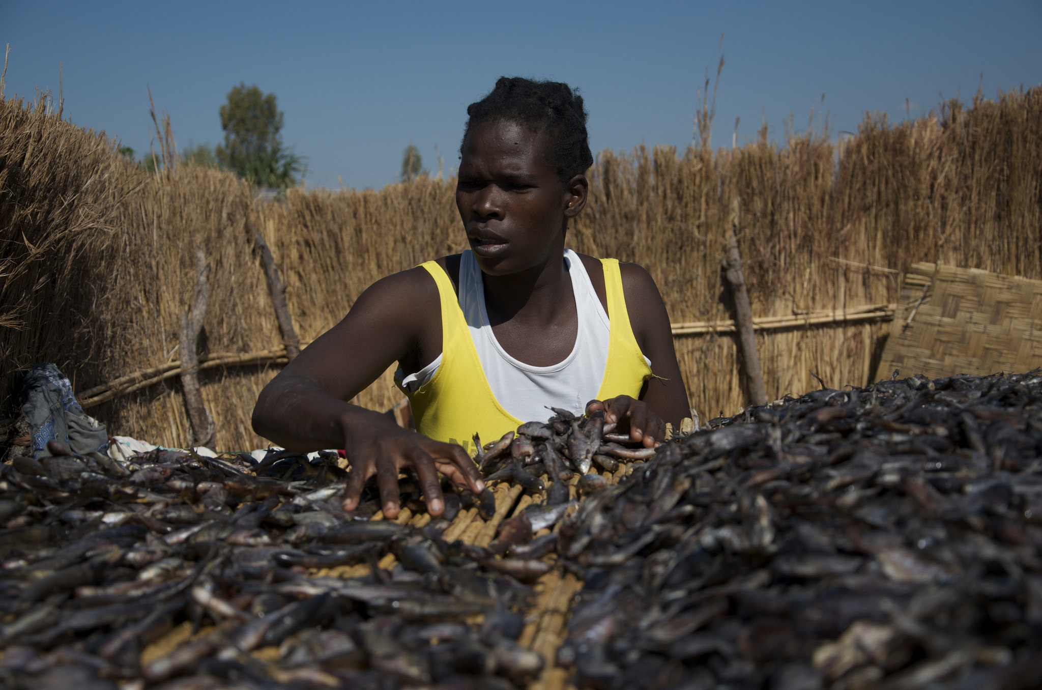 Woman drying fish, Zambia. Photo by Olek Kaminski, 2016. A woman turns her fish as they dry on reed racks in Liyoyelo fishing camp, Mongu district, Western Province, Zambia.
