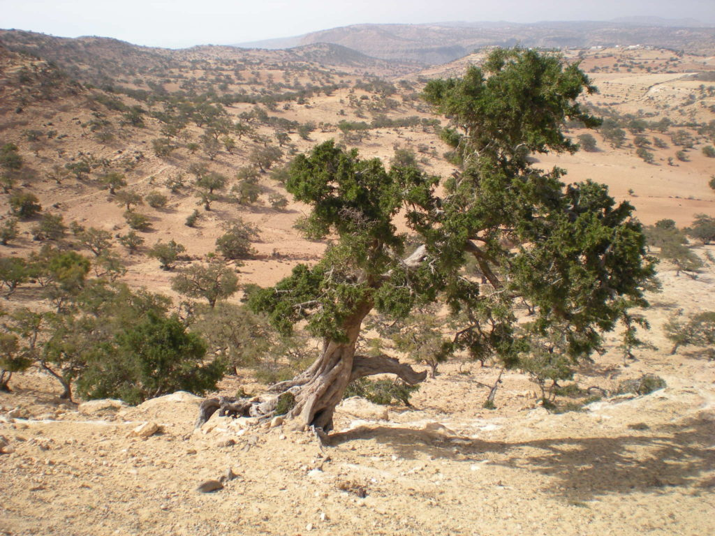 Argan tree. Photo: Ruedabola/flickr