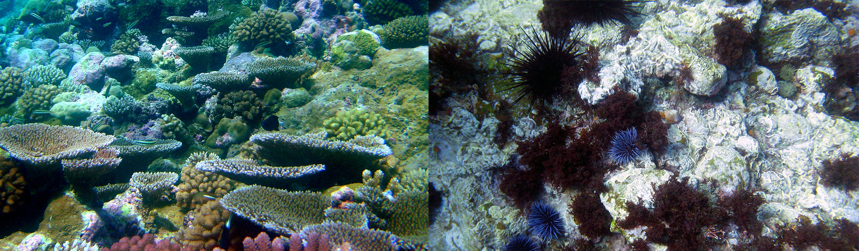 Regime shifts in coral reefs typically involve a change in species dominance from hard corals to algal dominance. They also include shifts from hard corals to urchin barrens , pictured here. These regime shifts result in loss of diversity and structural complexity, and are typically triggered by a combination overfishing, pollution, diseases and climate change. Images have been cropped to fit. Left: NOAA/flickr. Right: Travis/flickr