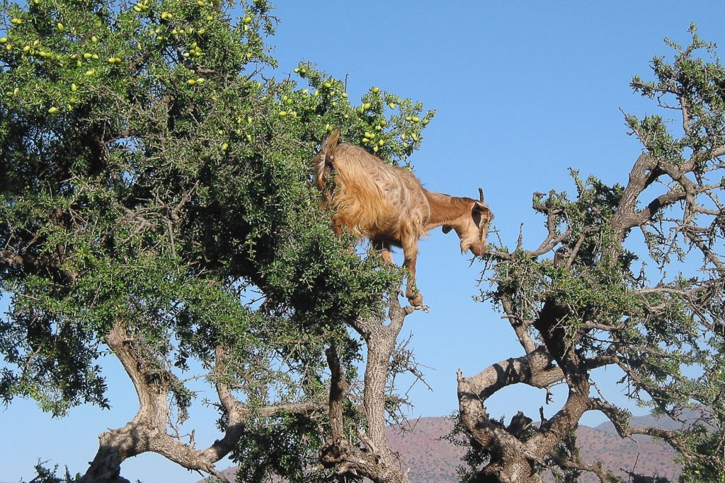 A goat grazing in an argan tree. Photo: jackmac34/pixabay